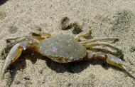 Granchio – Esche per pesca in mare