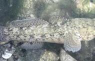 Ghiozzi Testone – Preda mare