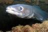 Grongo – Preda mare