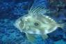 Pesce San Pietro – Preda mare