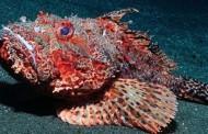 Scorfano – Prede mare