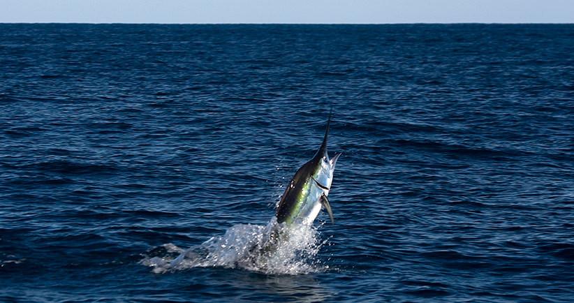 Blue Marlin da record in Messico – 350 KG
