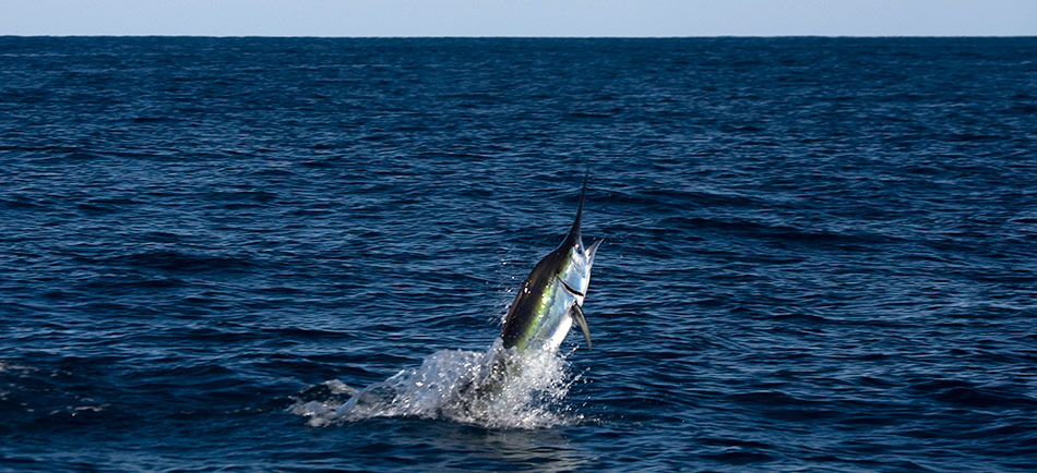 Blue Marlin da record in Messico – 350 KG
