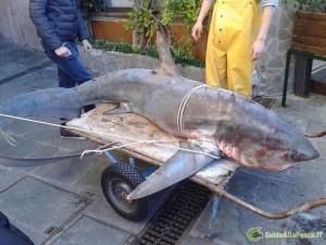 Lo squalo che è stato catturato