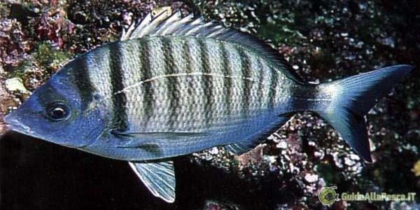 Sarago – Preda pesca in mare