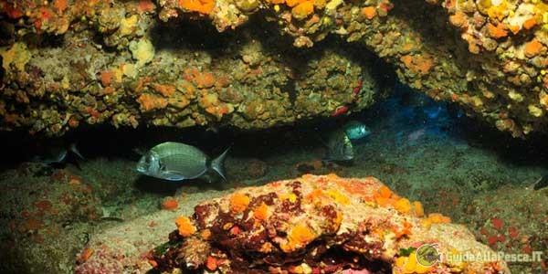 Pesca al Sarago – Azione di pesca