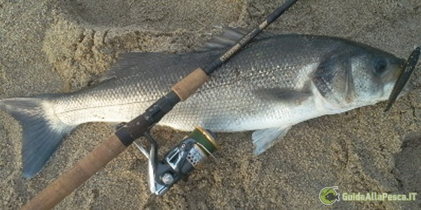 Spigola – Azioni di pesca