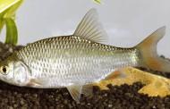 Pesca alla Scardola