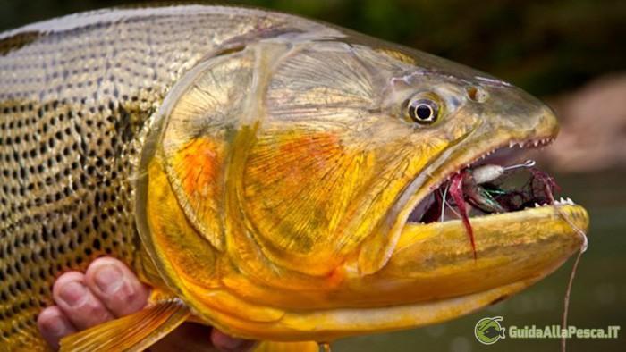 Dentatura Golden Dorado - Specie Ittica