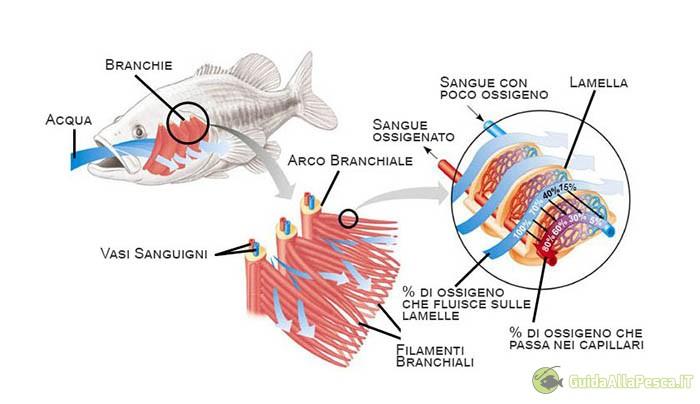 funzionamento-branchie-per-pesci-e-percentuali-di-ossigeno