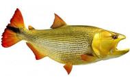 Golden Dorado