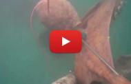 Pesca sub – Polpo gigante