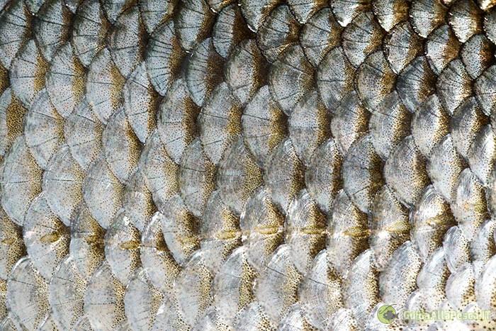 Scaglie dei pesci e variazione di pigmenti