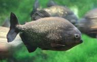 Piranha Nero