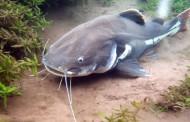 Pesce Gatto Coda Rossa