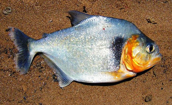 Piranha Allungato