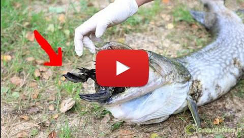 Spettacolari attacchi di pesci