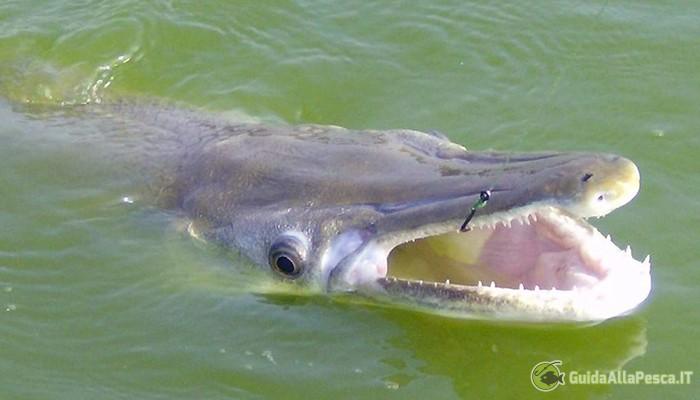 Pescare un Luccio Alligatore