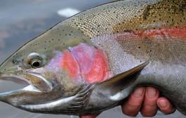 Pesca alle trote giganti in laghetto